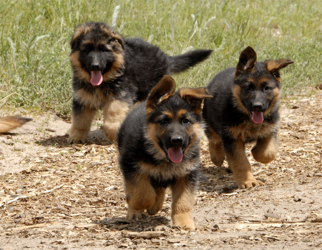 GERMAN SHEPHERDS and the BREED SURVEY: